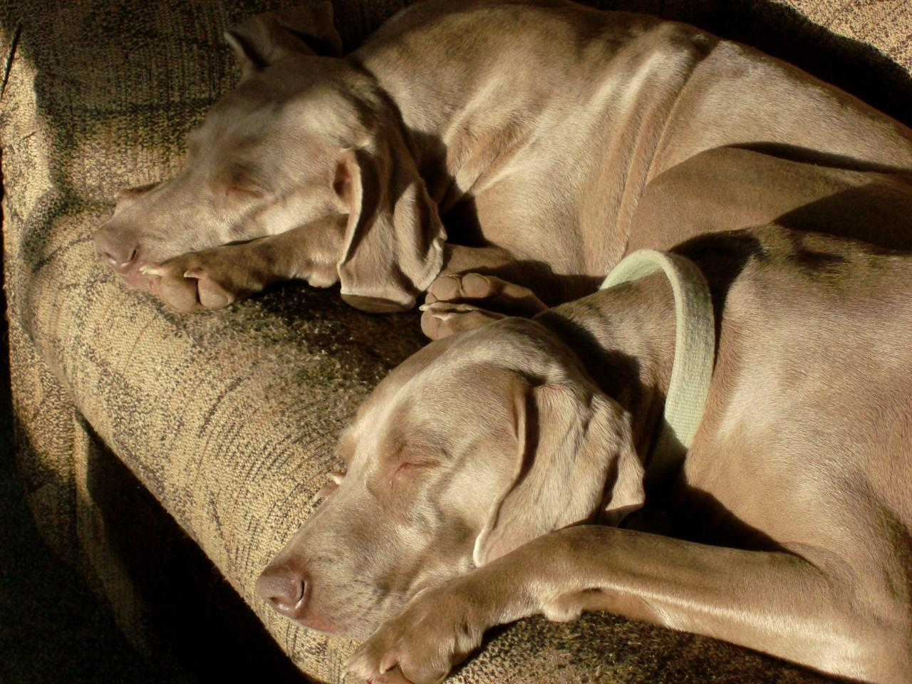 Vowers Weimaraners and Gamebirds - Pedigrees and Photos